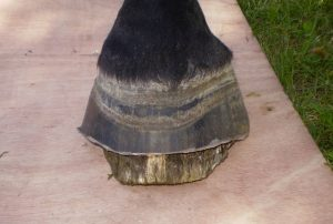 Use of Tubbease with Laminitis